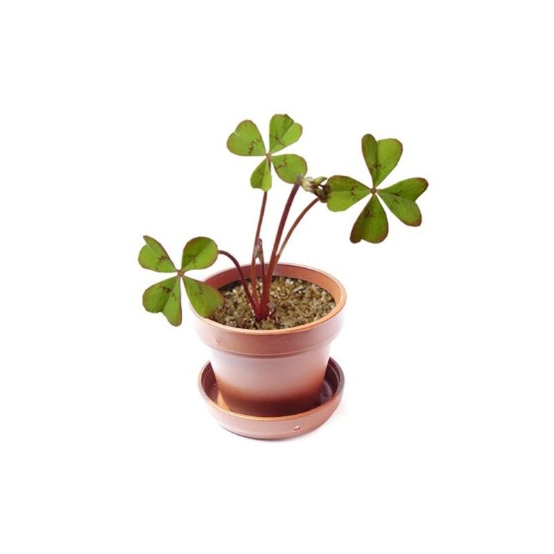 Pianta di quadrifoglio porta fortuna - Immagini di quadrifoglio a quattro foglie ...