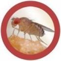 Microbi Giganti moscerino della frutta