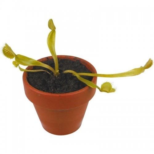 Cresci la tua pianta carnivora