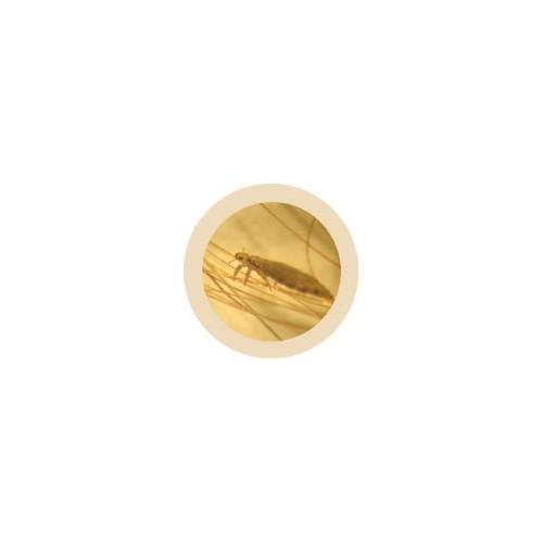 Microbi Giganti PIDOCCHIO