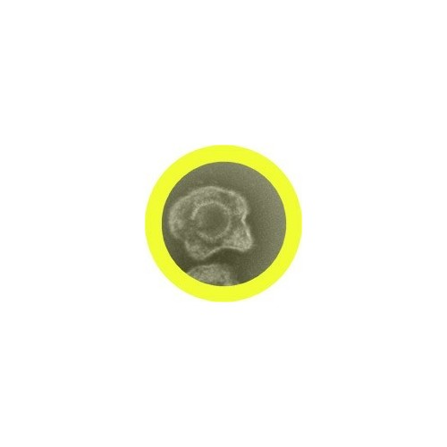 Microbi Giganti HERPES simplex virus 2