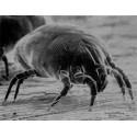 Microbi Giganti ACARO della polvere