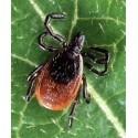 Microbi Giganti ZECCA peluches riproduzione